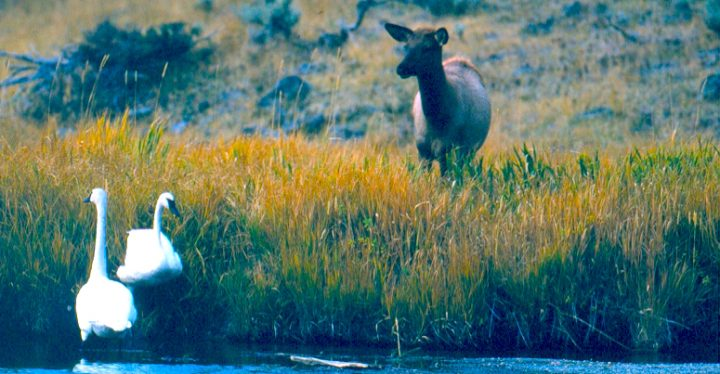 """""""Elk and Swans"""": A Cow Elk with two Trumpeter Swans in a Grand Teton National Park wetland. Credit: Grand Teton National Park, National Park Service, Public Domain."""