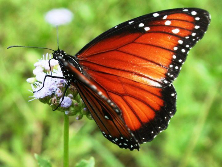 Queen Butterfly on Blue Mistflower
