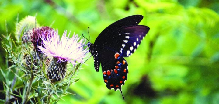 """""""Butterfly on Thistle"""": A tiger swallowtail butterfly on a thistle. Credit: Shenandoah National Park, National Park Service, public domain."""