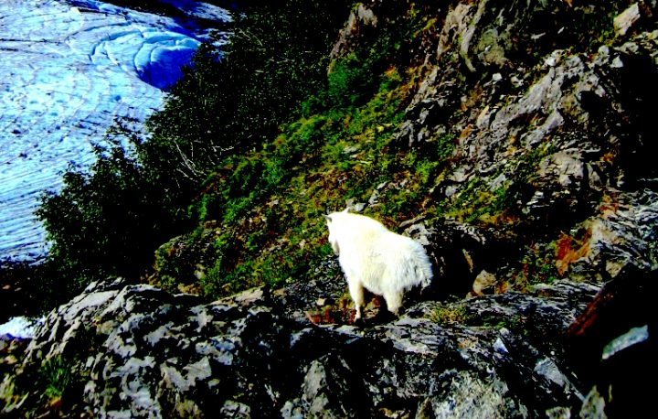 """Mountain Goat"". A Mountain Goat on cliff above a glacier. Credit: Kenai Fjords National Park, National Park Service, public domain."